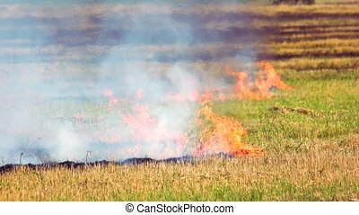 Field fire, burning dry and ripe grass. Dangerous ...