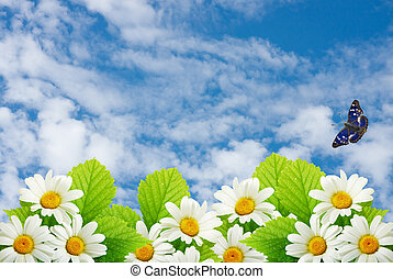 field flowers of camomile on a background blue sky