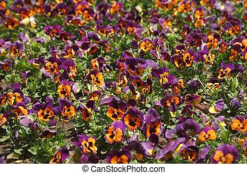 """Field flowers """"pansies"""""""