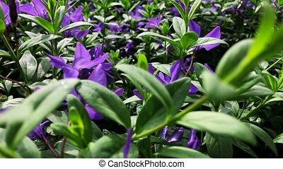 Field Flowers. Purple Wildflowers in a Field. - Field...