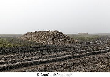 Field fog fall beets