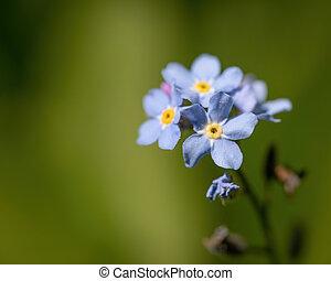 Field Forget-me-not (Myosotis arvensis) in the garden