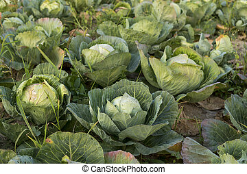 field full of cabbage