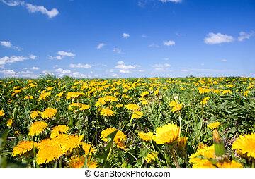 Field full of dandelions in spring