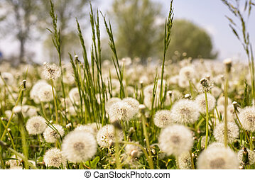taraxacum - field full of taraxacum in the grass