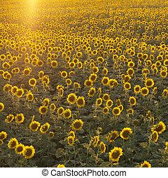 field., girassol