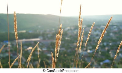 Field grass sunset village - Field grass trembling at orange...