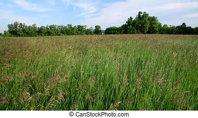 Field grass swaying in wind. Nature of Russia - Field grass...