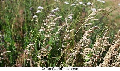 Field grass swaying in wind