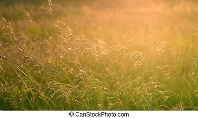 field grasses in backlight at sunset - fragments of the wild...