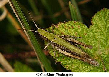 Field grasshopper (Chorthippus apricarius) e on a leaf