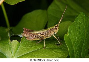 Field grasshopper (Chorthippus apricarius) - females on a plant