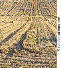 Field harvested wheat crop