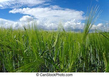 Field in Soft light