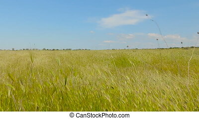Field in spike - Field of ears in the clear day. Beautiful...