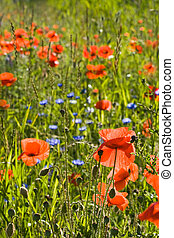 Field in summer with poppy flowers