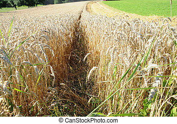 field in the harvest time