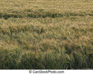 Field in the summer wind