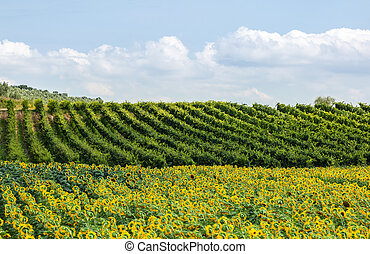 Field in Tuscany