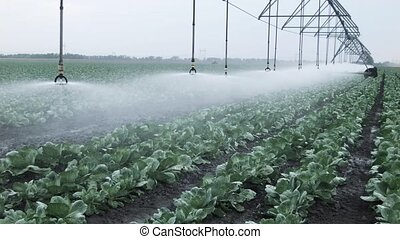 field irrigation of cabbage