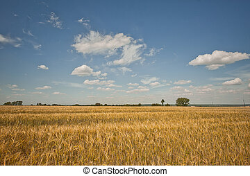Field landscape with a rye.