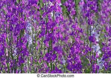Field larkspur flowers in garden