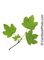 Field maple (Acer campestre) branch with leaves against a white background