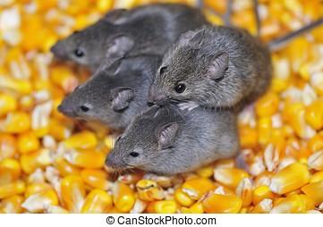Field mice. - Four field mice eating corn grain on the farm....