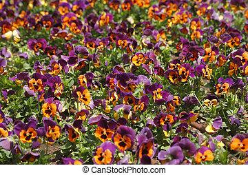 "Field multi-colour flowers ""pansies"""