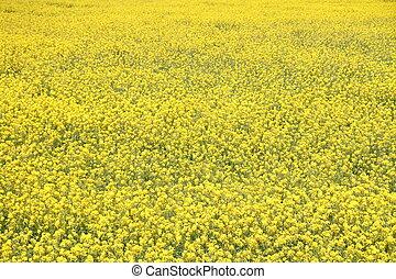 field mustard in Izu, Shizuoka, Japan