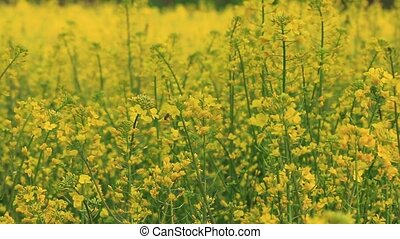 Field mustard - one of the typical flower of the spring