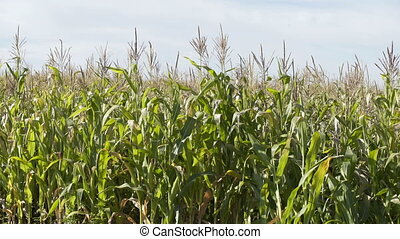 Field of a corn at sunny day. Corn Growing. Ecological...