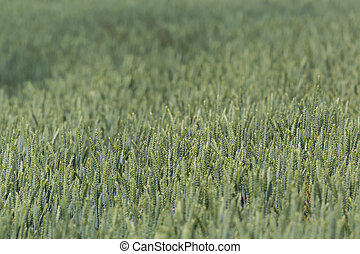 Field of a green wheatfield