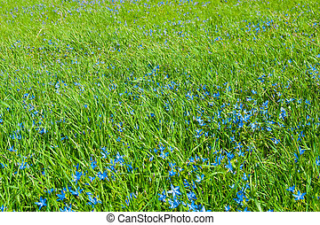 Field of a young green grass with blue flowers