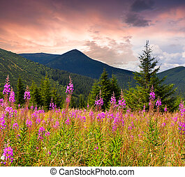 Field of angustifolium flowers in the Carpathian mountains....
