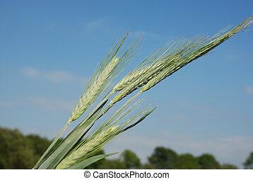 Field of  barley.