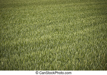 Field of barley cultivation