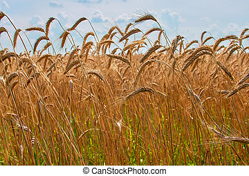 Field of barley in a summer day.