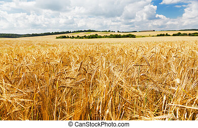 Field of barley in a summer day