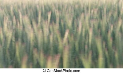Field of barley In slow motion