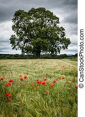 Field of Barley - Red Poppies - Poppys