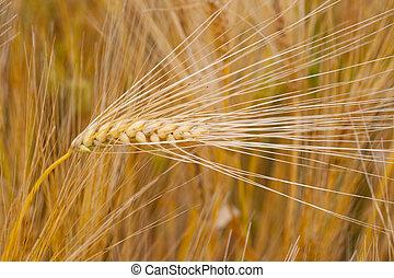 field of barley