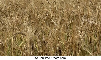 Field of barley. Yellow grain ready for harvest growing in a...