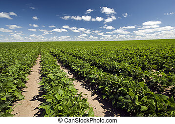 Field of beans on a sunny day