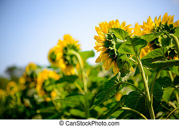 Field of Beautiful Bright Sunflowers Against the Blue Sky