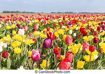 Field of beautiful colorful tulips in the Netherlands