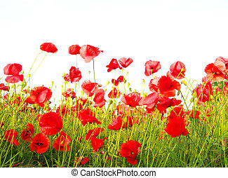 beautiful red poppies - Field of beautiful red poppies ...