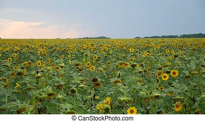 field of beautiful yellow sunflowers video with black caps -...