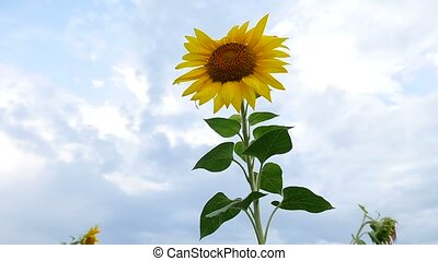 field of beautiful yellow video sunflowers with black caps -...