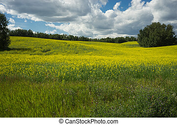 Field of blooming canola